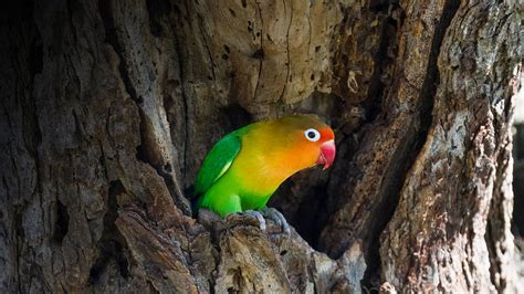 Lovebirds: Types, Care as Pet, Lifespan, Pictures ...