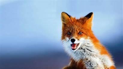 Animal Fox 4k Desktop Wallpapers