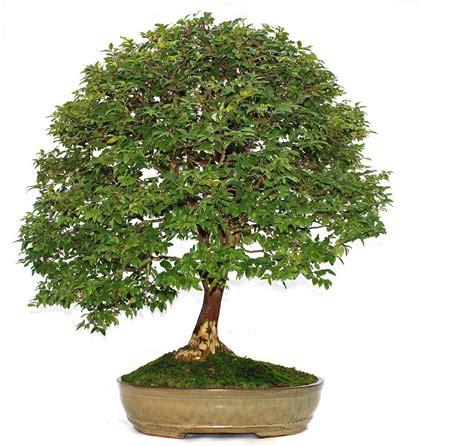 bonsai baum pflege bonsai pflege wie h 228 lt einen bonsai baum richtig