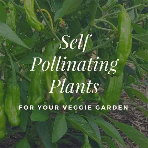 Self Pollinating Plants For Your Veggie Garden You
