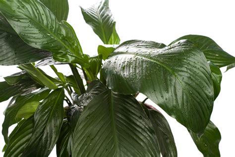 Zimmerpflanze Einblatt Haltung Pflege by Einblatt In Hydrokultur Halten 187 So Pflegen Sie Es Richtig