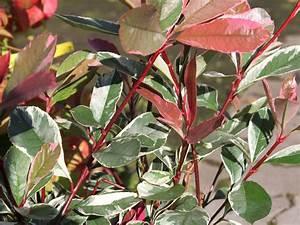 Glanzmispel Pink Marble : wei gr ne glanzmispel 39 pink marble 39 photinia fraseri ~ Michelbontemps.com Haus und Dekorationen
