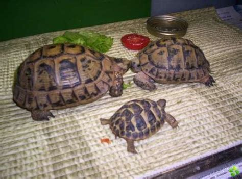 tortue de terre reptiles hibies j annonce