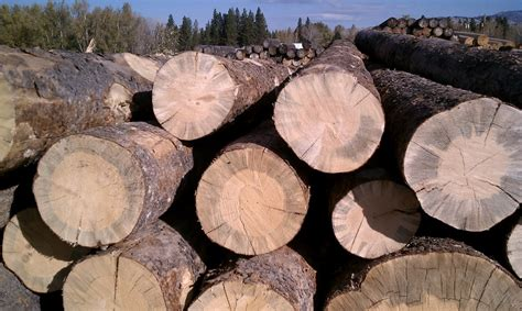 Beetle Kill Pine Lumber Boulder by Logs Killed By Mountain Pine Beetle Sustainable Lumber