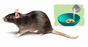 Comment Tuer Un Rat : tuer rats naturellement taupier sur la france ~ Melissatoandfro.com Idées de Décoration