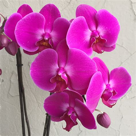 phalaenopsis orchid regal purple phalaenopsis orchid in ceramic urban jungle