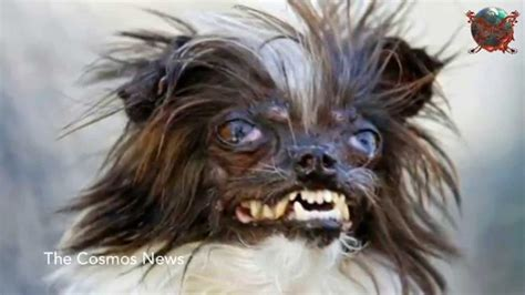 meet peanut the new quot world s ugliest dog quot youtube