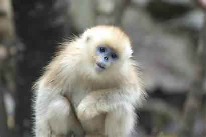 Monkey Snub Nosed Golden Monkeys Animals Exotic