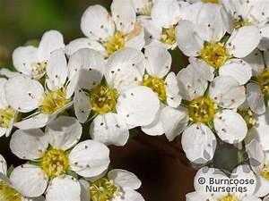 Spiraea Cinerea Grefsheim : spiraea from burncoose nurseries ~ Orissabook.com Haus und Dekorationen