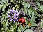 Solanum - Wikipedia, the free encyclopedia