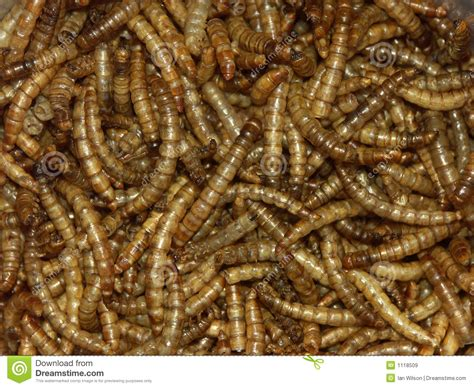 mealworms royalty free stock images image 1118509