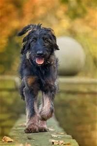 Shepadoodle (German Shepherd-Poodle Mix) Info, Puppies ...
