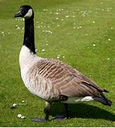Canada geese in New Zealand - Wikipedia
