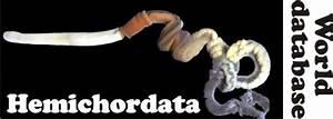 Hemichordata World Database
