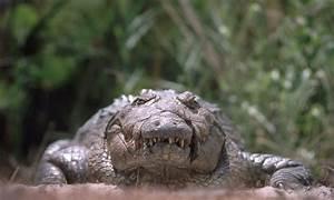 Gustave Crocodile   www.imgkid.com - The Image Kid Has It!