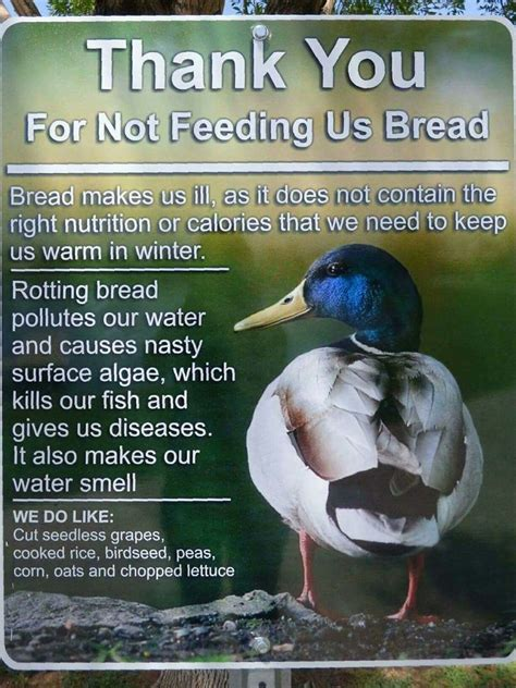 the 25 best what to feed ducks ideas on pinterest how