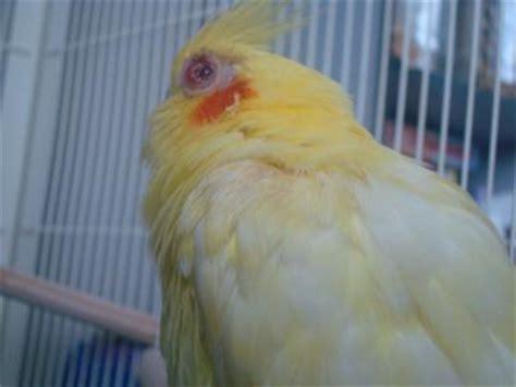 lutino cockatiel red eye