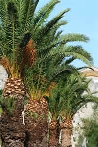 Florida Palm Tree Identification