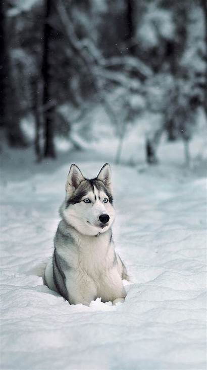 Husky Iphone Siberian Wallpapers Huskies Dog Random
