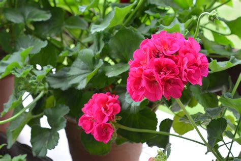 Geraniums How To Plant, Grow, And Care For Geraniums
