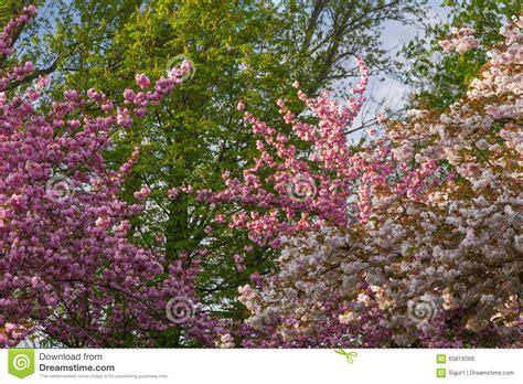 alberi con fiori rosa alberi con i fiori rosa in primavera fotografia stock