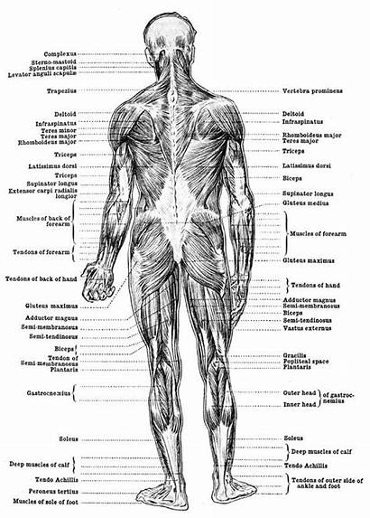Anatomy Muscles Human Muscle Diagram Leg Drawing