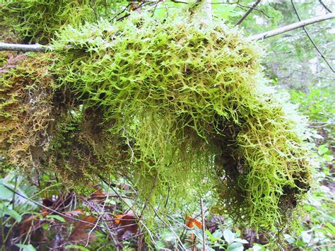 types of moss on trees christmas in desolation sound
