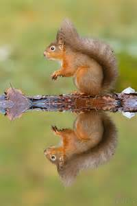 Squirrel Water Reflection