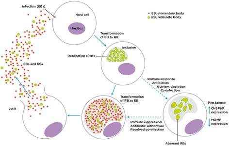 Diagram Of Chlamydium chlamydia developmental cycle scientific diagram