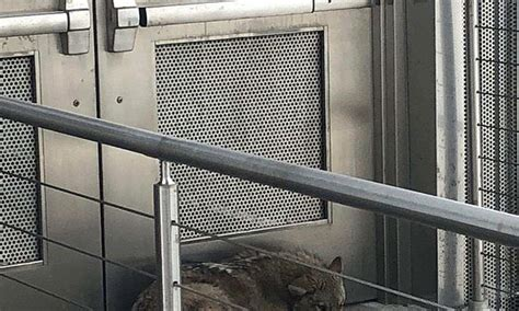 outdoor mezzanine coyote found on museum s outdoor mezzanine tranquilized daily mail online