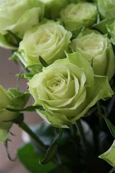 green roses unique  beautiful green rose