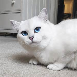 white cat with blue adorable white cat with blue top13