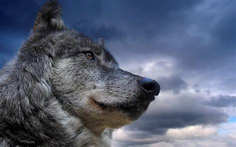 wolf nature animals wallpapers hd desktop  mobile