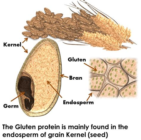 what is gluten what s gluten and why should you care strides on your path