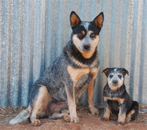 blue heeler shed a lot 1000 ideas about mutt puppies on cutest puppy