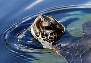 Green Sea Turtle Sticking Its Head Above Water Image - Free Stock Photo