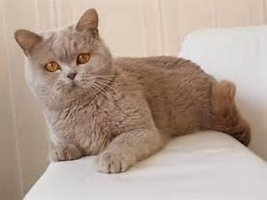 shorthair cinnamon cat cinnamon shorthair shorthair cats