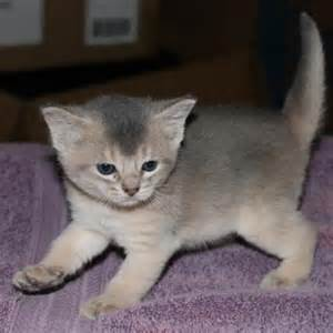 baby cats for adoption kittens for adoption kittens classifieds for adoption