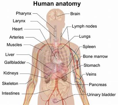 Organ Discovery Biggest Anatomy Largest Discovered