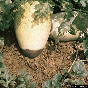 Watermelon Has Black Bottom - Why Is Watermelon Rotting On ...