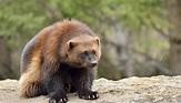 Wolverine Animal Facts | Sciencing