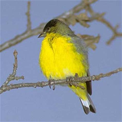 wild birds unlimited nene hawaiistate birditis believed