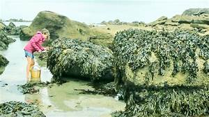 Foraging Seaweed  Harvesting A French Coastal Superfood