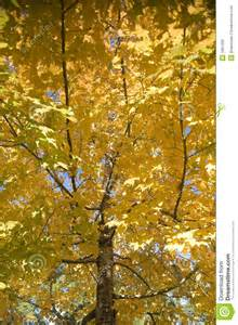 Trees with Yellow Fall Foliage