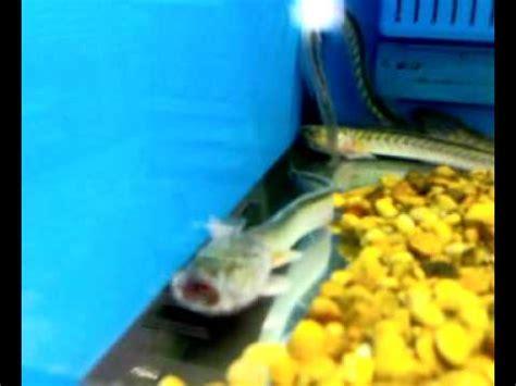 dragon fish youtube