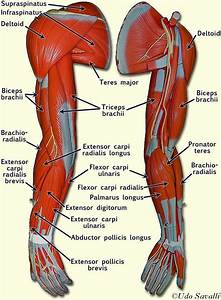 Left Arm Muscle Model Labeled