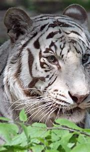 Cincinnati Zoo.....White Tiger | © All Rights Reserved ...