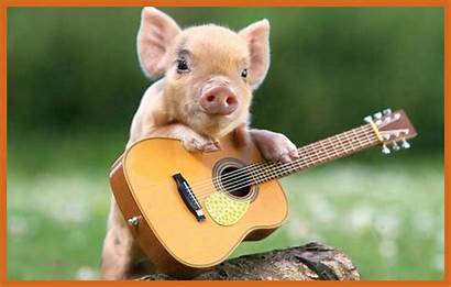 Pig Funny Wallpapers Backgrounds Background Marvelous Concept
