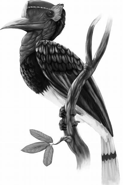 Rangkong Burung Enggang Gambar Hitam Putih Indonesia