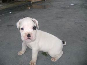 White Baby Boxer Dog | www.pixshark.com - Images Galleries ...